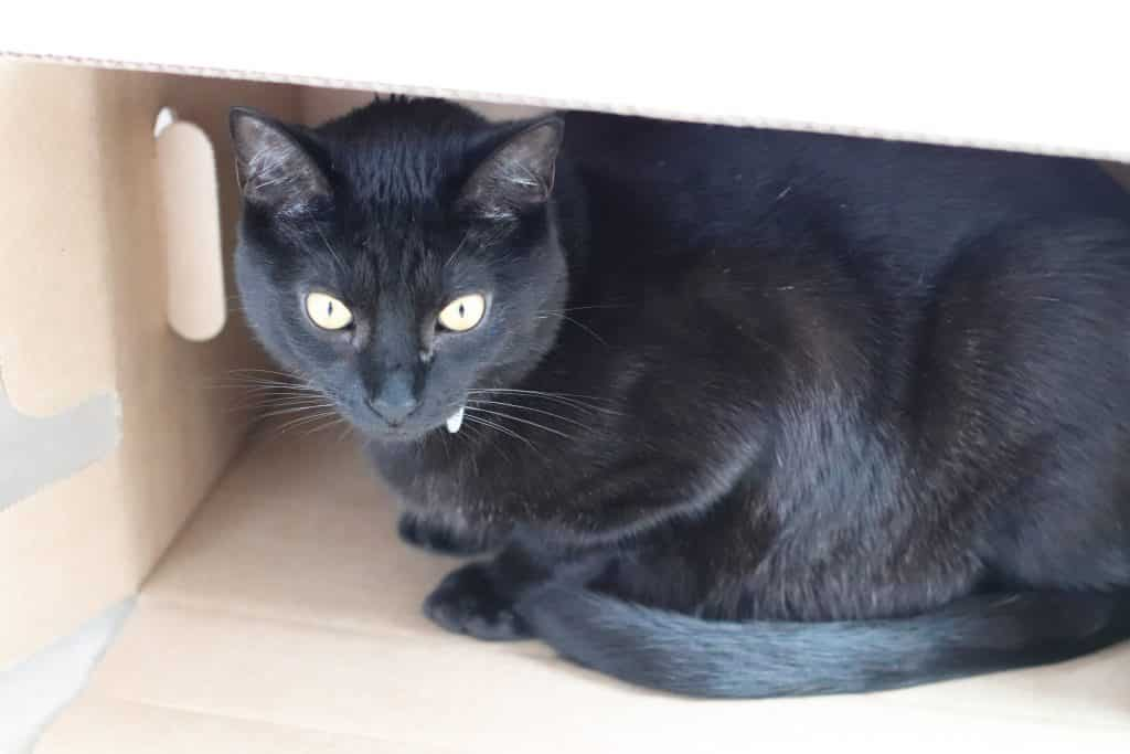Ozzy the black cat sitting inside of a cardboard box